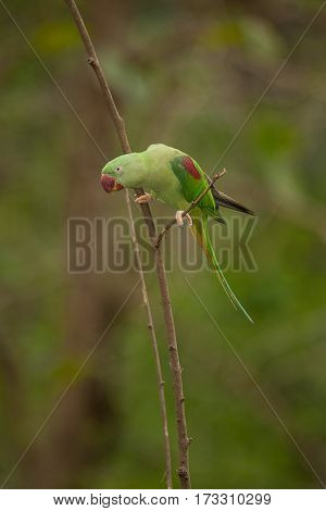 Beautiful male Alexandrine Parakeet (Psittacula eupatria) in Thai forest.