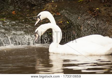 Pair of white mute swans (Cygnus Olor) floating on a lake. White swans pairing ritual. Graceful white mute swans duo swimming on lake.