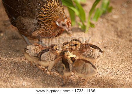 Red junglefowl mother heath tutoring children eat seeds.