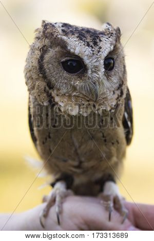 Collared Scops Owl sitting on hand. Outdoor Shooting