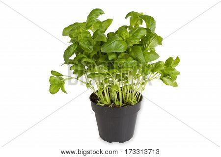 Fresh basil in pot isolated on white background