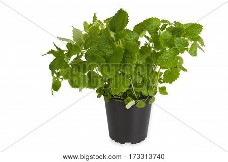 Fresh Peppermint in pot isolated on white background