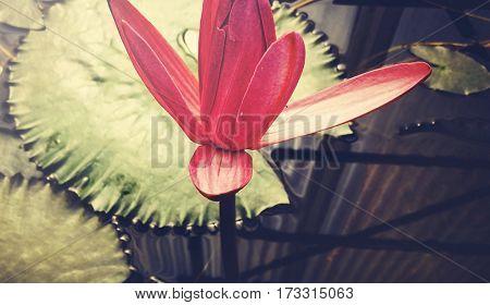 Pink Lotus Flora Natural Peaceful