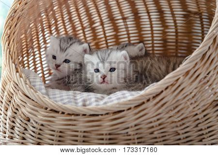 Close up of cute kittens on the pet bed in wicker basket.