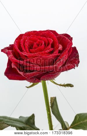red rose. signs of love