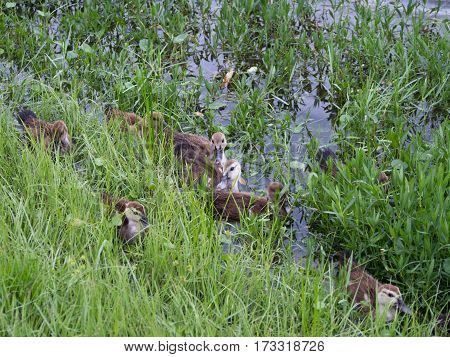 Baby Ducks near a Grassy Bank at an aprtment complex in Fort Myers Florida