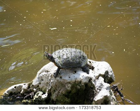 Crusty Turtle Sunning on a Rock in a Canal in Fort Myers FLorida