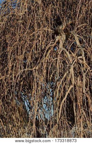 Close up of old winter weeping willow tree branches