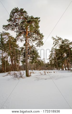 Winter pine forest on the shores of the Gulf of Finland