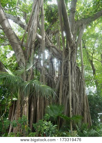 Large Banyan Tree in a Park near the Southern Most Point in Key West Florida