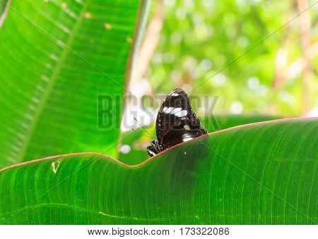 A pretty Black & White butterfly rests on a vibrant green leaf