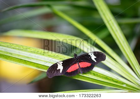 A pretty Red, Black & White Butterfly resting on a vibrant green leaf