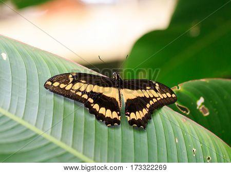 A Large Brown and Yellow Butterfly resting with wings extended on a green veined leaf