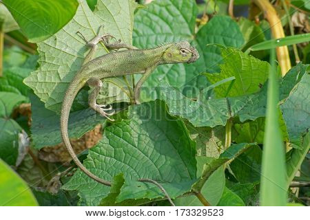 Indian gecko inside a bush looking out green foliage background morning light Kolkata India - nature stock photograph