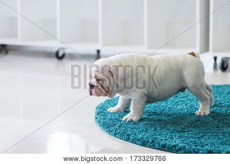 English bulldog puppy sitting on carpet at home