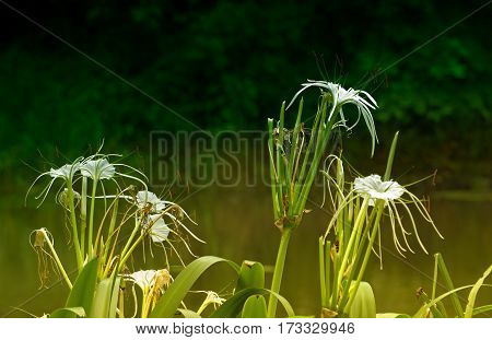 White flowers with dark green nature background Howrah West Bengal India