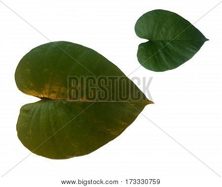 heart, leaf, shaped, isolated, green, shape, nature, background, love, object, color, natural, valentine, plant, tree, day, botany