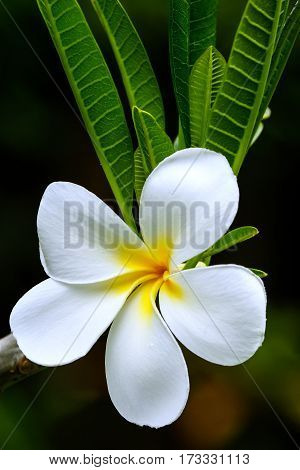 White plumeria flower on a tree against dark background