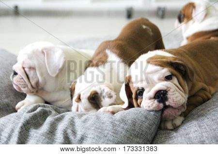 the young puppy of the English bulldog has a rest on a pillow