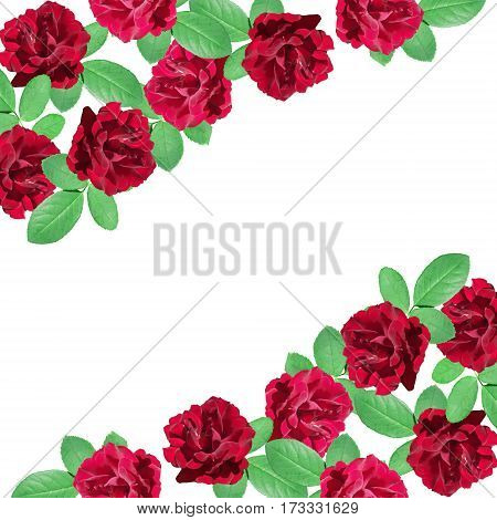 Beautiful floral background of dark red roses