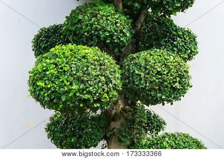 Bonsai tree with green leaves and white wall as background photo taken in Jakarta Indonesia java