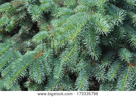 Blue spruce green spruce white spruce Colorado spruce or Colorado blue spruce with the scientific name Picea pungens is a species of spruce tree.