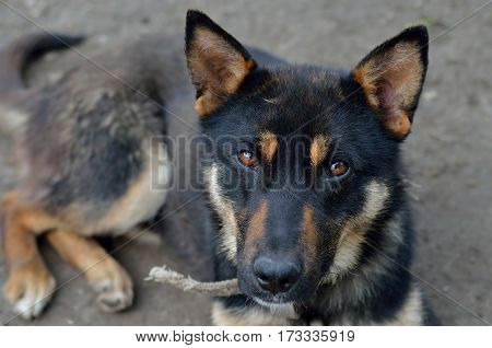 German Shepherd Dog With Sad Eyes.