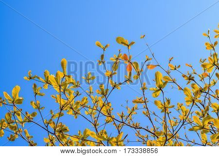 Yellow leaf with blue sky on the morning.