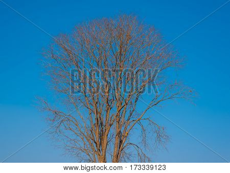 Tree dryed with blue sky with daylight.