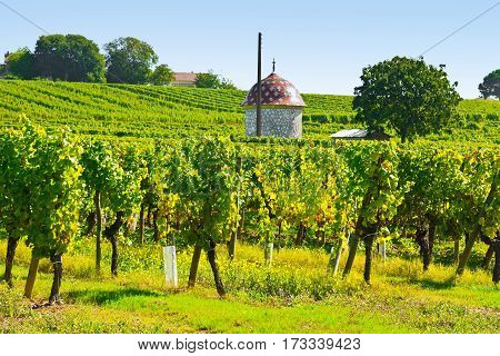 Ripe Grapes in the Autumn in Bordeaux France