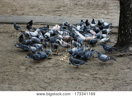 A flock of colorful pigeons. Eat city pigeons scattered on the ground bread crumbs.