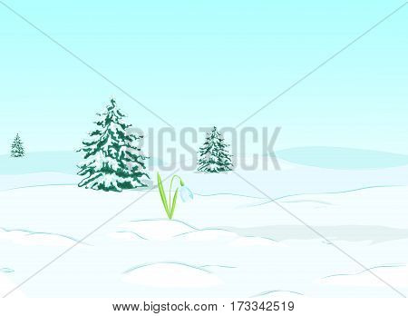 Snowy landscape. Plain, spruces, snowdrifts and snowdrop.