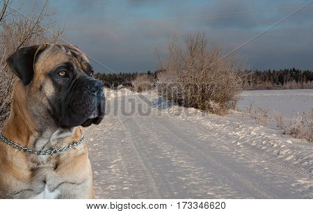 Eyes amber in colour. Closeup portrait of a beautiful dog breed South African Boerboel on the background of a winter landscape. South African Mastiff.
