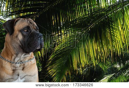 Closeup portrait of a beautiful dog breed South African Boerboel on the background of green leaves of palm trees. South African Mastiff.