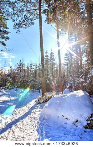 winter russian forest at sun day with snow and sunrays
