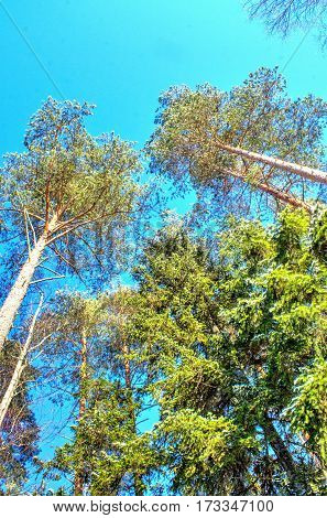 Bottom view of tall old trees in evergreen primeval forest. Blue sky in background.