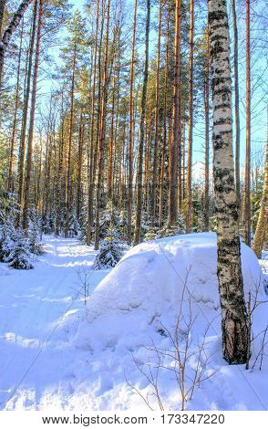 winter russian forest at sun day with snow