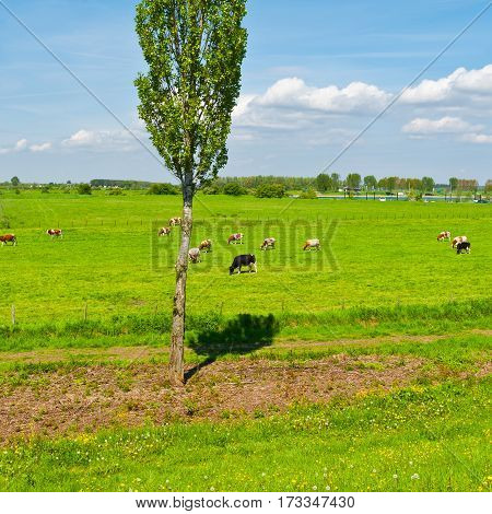 Cows Grazing in the Floodplain of the Rhine Netherlands