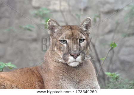 Puma, cougar portrait. Mountain lion close up.