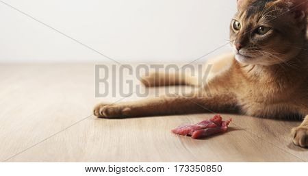 young abyssinian cat with meat on table, 4k photo