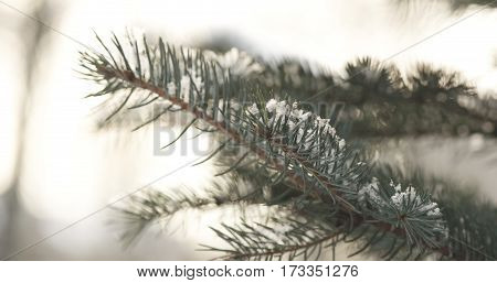 fir branches covered with snow in the morning closeup with shallow focus, 4k photo