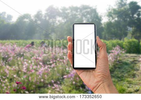 Beautiful Cosmos Flower in field, flower in filed