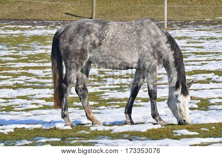 white horse on winter pasture. South Bohemia Czech Republic