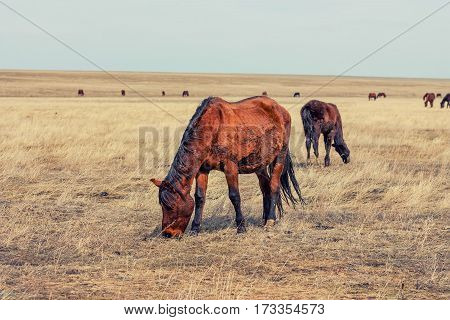 Horses grazing in natural environment on autumn steppe background