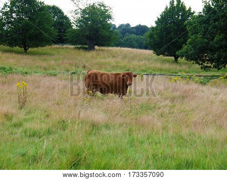 Brown cow in the middle of a field with trees in background