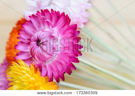 Beautiful flower strawflowers on wooden table background