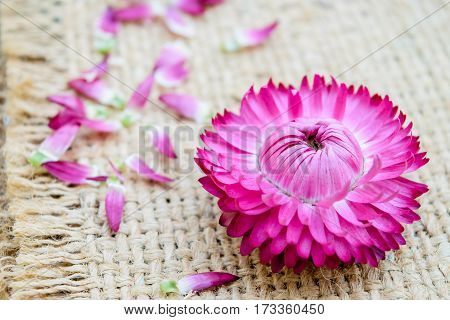 Beautiful strawflowers on sack on wooden table