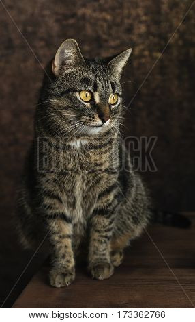 Striped cat with yellow eyes on dark background