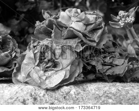 Dead roses in a garden in summer