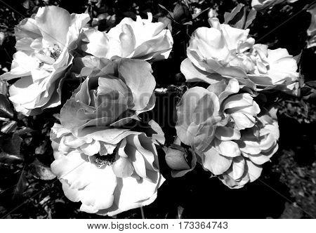 Sunny roses in a garden in summer